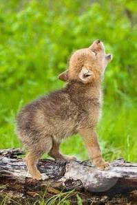 baby-coyote-wolf